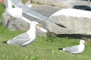 Looks like the storm might have driven in some gulls